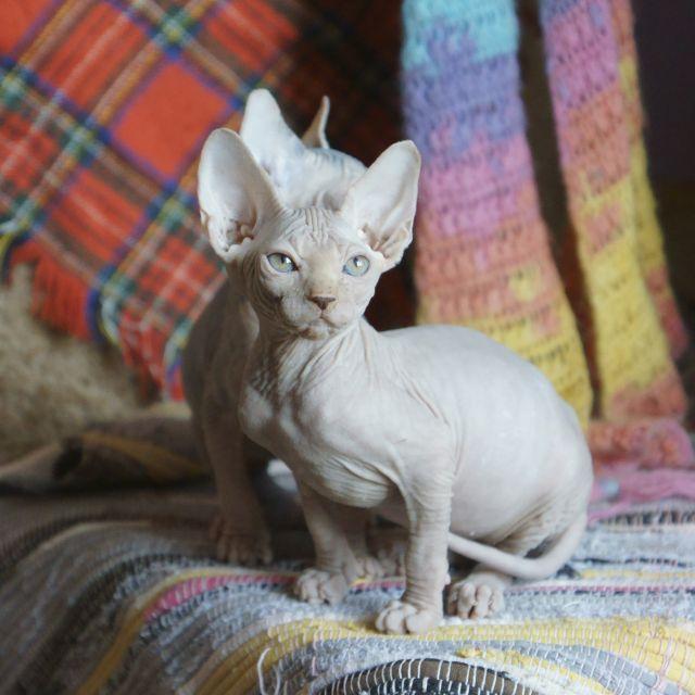 Фото сфинкс сфинкс кошки фото