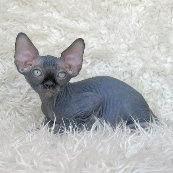 Sphynx Cat For Sale Craigslist Colorado