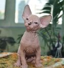 sphynx kitten male Talialida Reckless