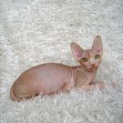 Sphynx kitten female Talialida Glorious Summer