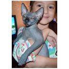 sphynx kitten black male Talialida Tastes Differ 1