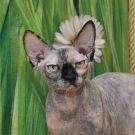 sphynx cat black tortie female 1