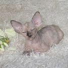 sphynx kitten tortie mink female Talialida Lullaby 3