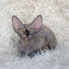 sphynx kitten black tortie female Talialida Wynken
