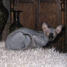 sphynx kittens Prisoner of the Caucasus