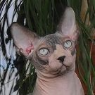 sphynx kitten male Talialida One Shot At Glory