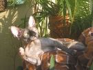 sphynx cat black tortie female 4