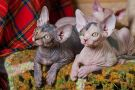 sphynx kitten female Talialida J...