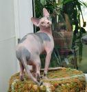 sphynx kitten female Talialida Merry Mood