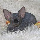 sphynx kitten black male Talialida Ole-Luk-Oie