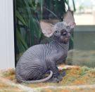 sphynx kitten male Talialida Great Mogul