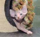 sphynx kitten female Talialida Fleur Nue