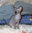 sphynx kittens Prisoner of the Caucasus