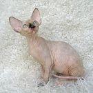 sphynx kitten tortie mink female 3