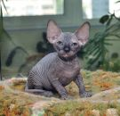 sphynx kitten female Talialida Night Fly
