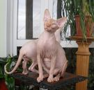 sphynx kitten male Talialida Jack of Diamonds